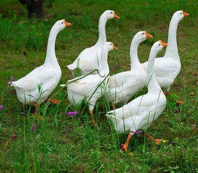散养鹅 - 开心农场